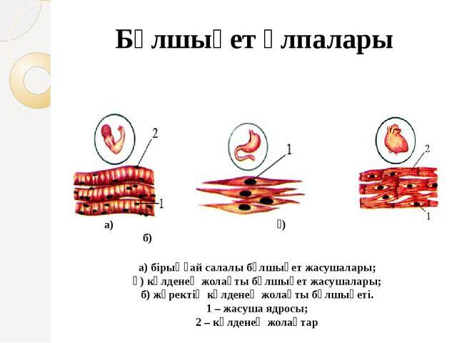 Бұлшықет ұлпалары а) бірыңғай салалы бұлшықет жасушалары; ә) көлденең жолақты...