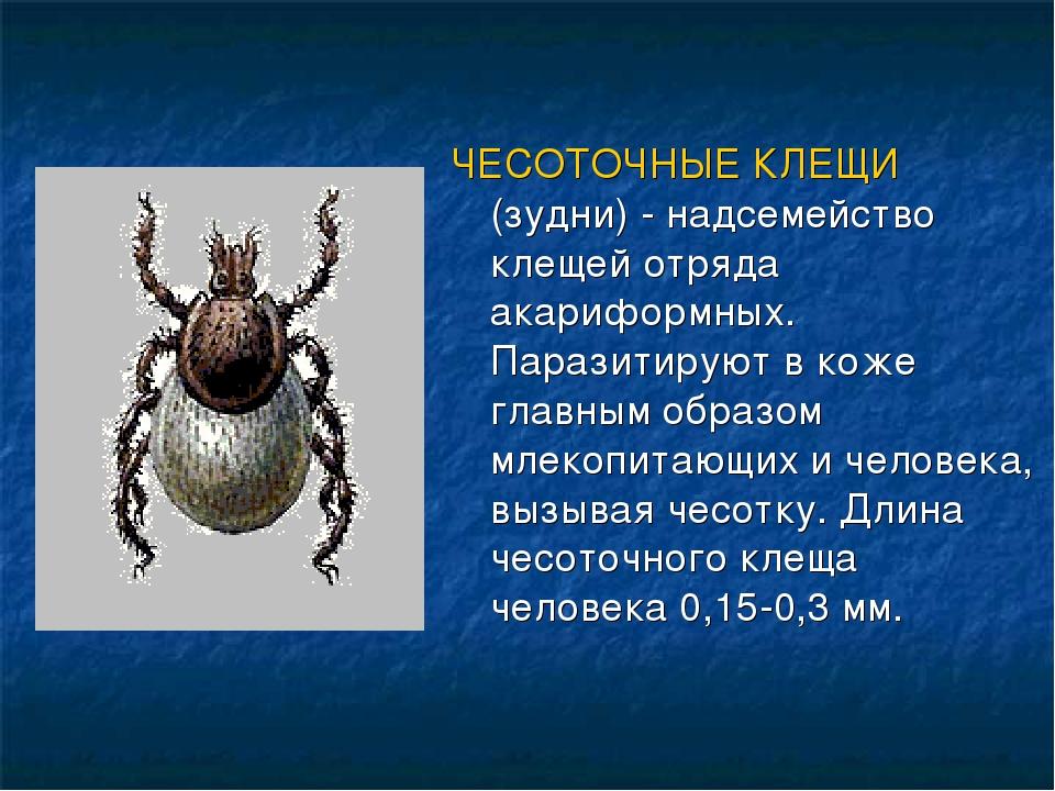 ЧЕСОТОЧНЫЕ КЛЕЩИ (зудни) - надсемейство клещей отряда акариформных. Паразитир...