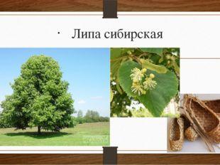 Липа сибирская