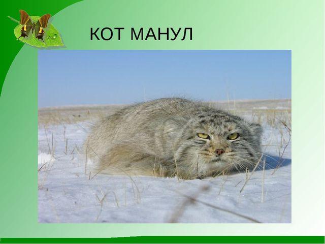 КОТ МАНУЛ