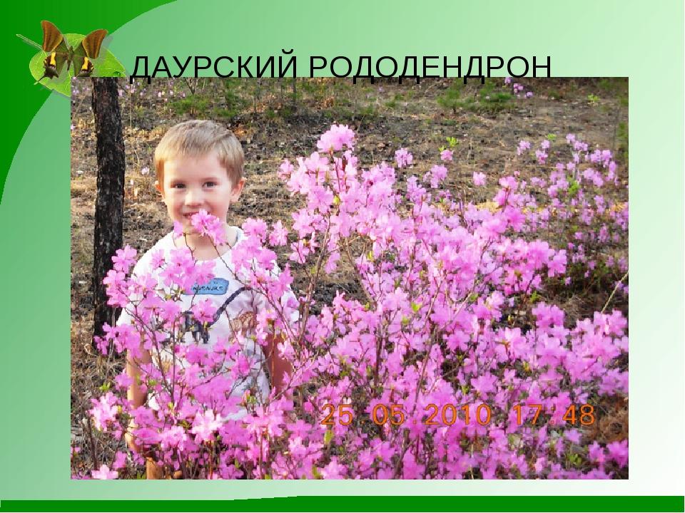 ДАУРСКИЙ РОДОДЕНДРОН