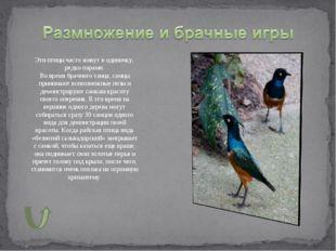 Эти птицы часто живут в одиночку, редко парами. Во время брачного танца, самц