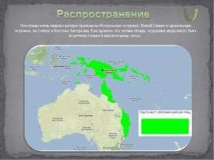 Эти птицы очень широко распространены на Молуккских островах, Новой Гвинее и