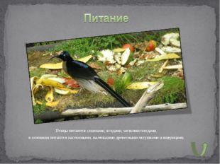 Птицы питаются семенами, ягодами, мелкими плодами, в основном питаются насеко