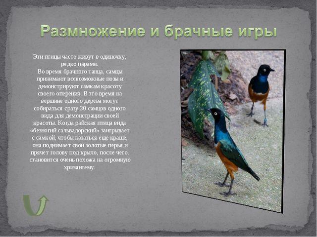 Эти птицы часто живут в одиночку, редко парами. Во время брачного танца, самц...