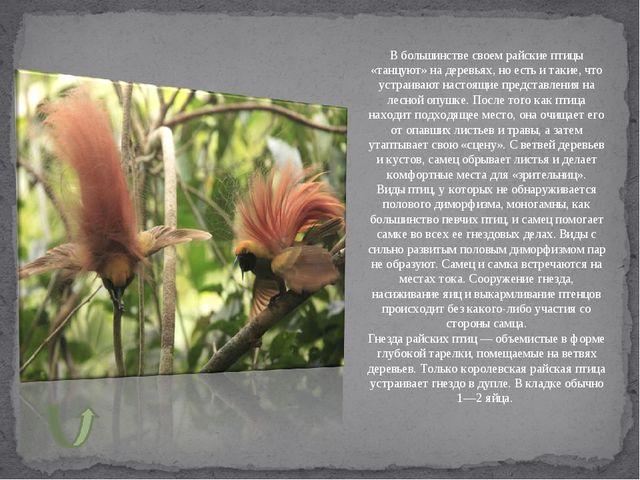 В большинстве своем райские птицы «танцуют» на деревьях, но есть и такие, что...