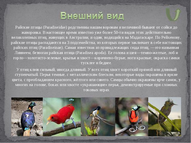 Райские птицы (Paradiseidae) родственны нашим воронам и величиной бывают от с...