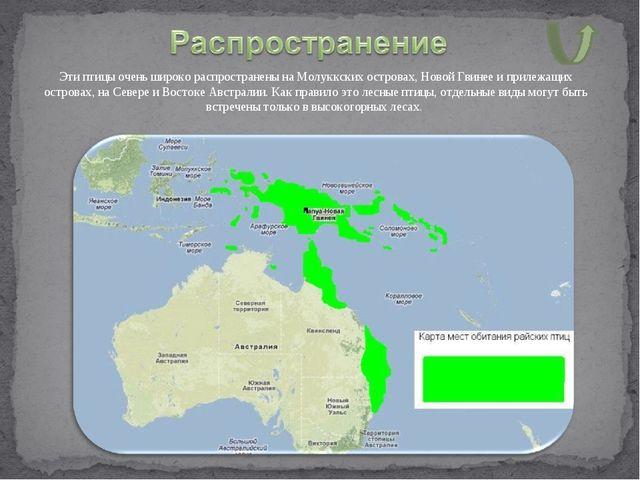 Эти птицы очень широко распространены на Молуккских островах, Новой Гвинее и...