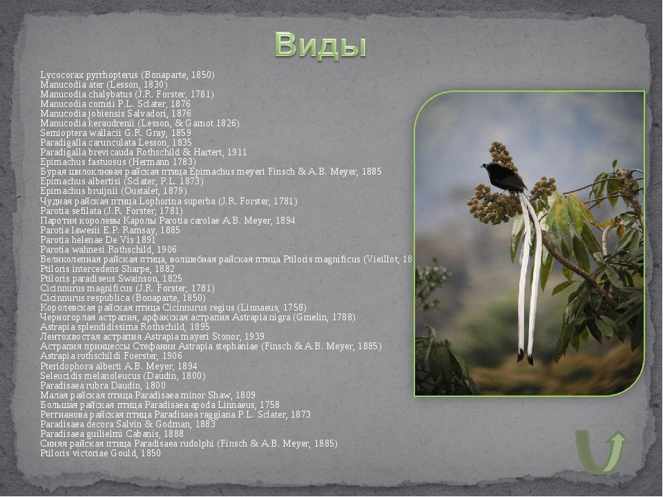 Lycocorax pyrrhopterus (Bonaparte, 1850) Manucodia ater (Lesson, 1830) Manuco...