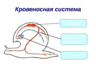 Кровеносная система Сердце Кровеносные сосуды Легкое
