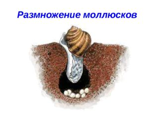 Размножение моллюсков