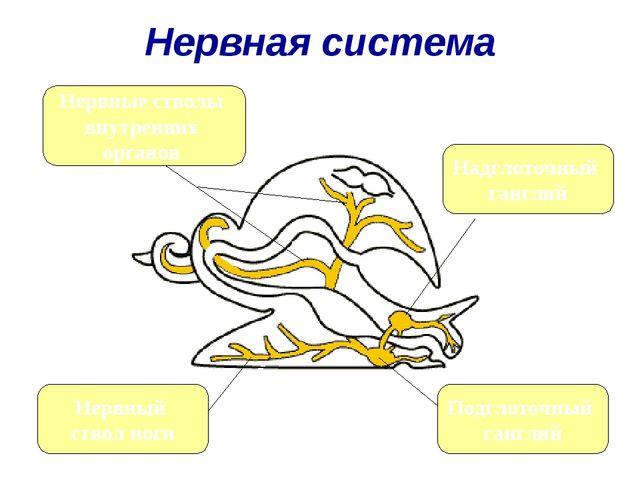 Нервная система Надглоточный ганглий Подглоточный ганглий Нервный ствол ноги...