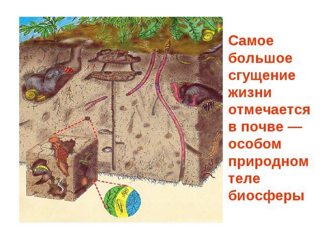 Самое большое сгущение жизни отмечается в почве — особом природном теле биосф...