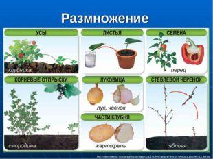 Размножение http://www.koalenok.ru/published/publicdata/KOALENOKKK/attachment