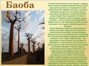 О необычном облике этого дерева в Африке даже сложена легенда. Давным-давно,
