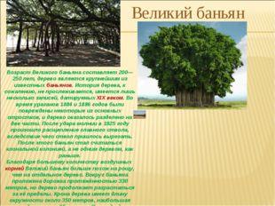 Возраст Великого баньяна составляет 200—250 лет, дерево является крупнейшим и