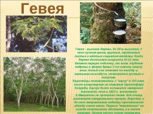 Гевея- высокое дерево, до 50 м высотой. У него густая крона, крупные, тройча