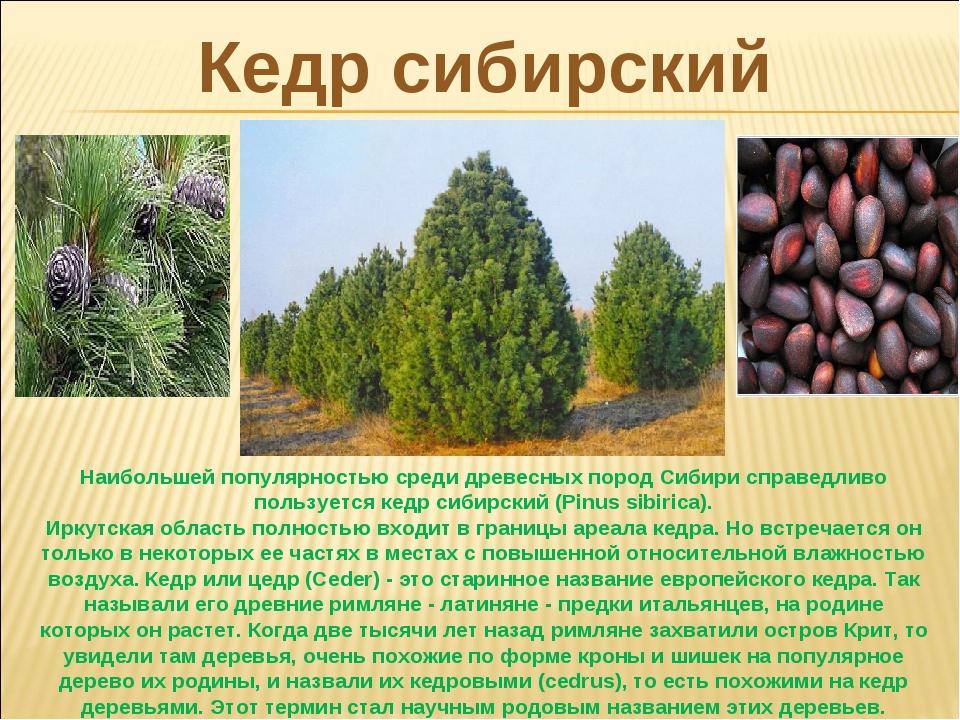 Кедр сибирский Наибольшей популярностью среди древесных пород Сибири справедл...