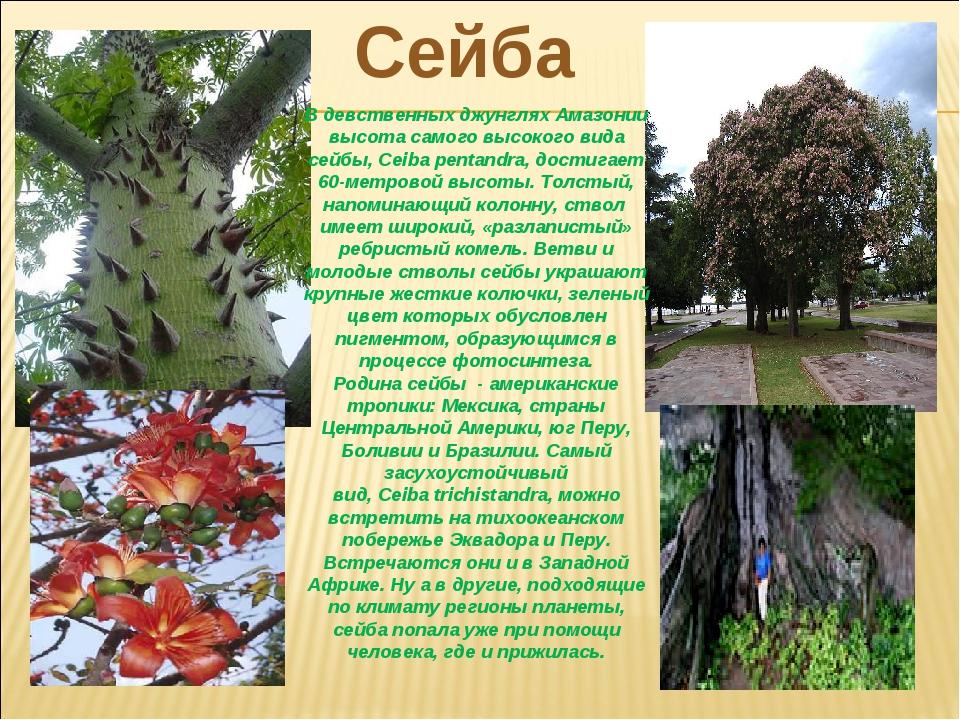 Сейба В девственных джунглях Амазонии высота самого высокого вида сейбы,Ceib...