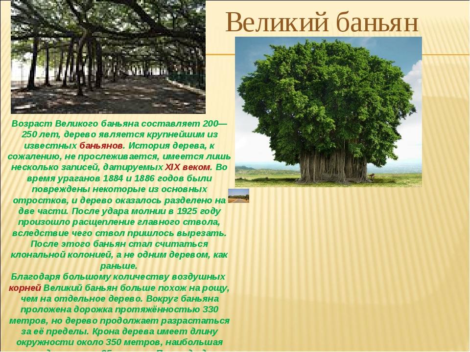 Возраст Великого баньяна составляет 200—250 лет, дерево является крупнейшим и...