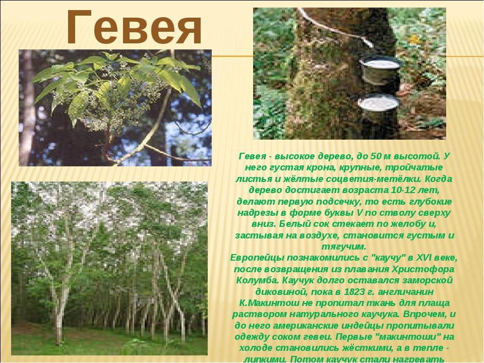 Гевея- высокое дерево, до 50 м высотой. У него густая крона, крупные, тройча...