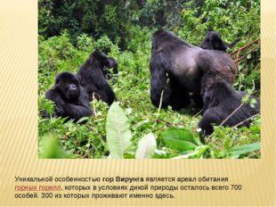 Уникальной особенностьюгор Вирунгаявляется ареал обитаниягорных горилл, ко