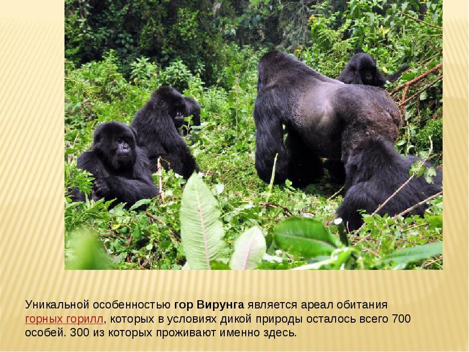 Уникальной особенностьюгор Вирунгаявляется ареал обитаниягорных горилл, ко...
