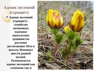 Адонис весенний (горицвет) Адонис весенний (горицвет) - семейство лютиковые,