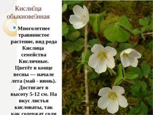 Кисли́ца обыкнове́нная Многолетнее травянистое растение, вид рода Кислица сем