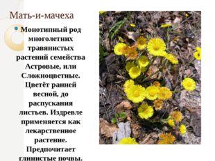 Мать-и-мачеха Монотипный род многолетних травянистых растений семейства Астро