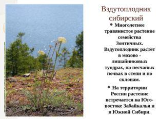Вздутоплодник сибирский Многолетнее травянистое растение семейства Зонтичных.