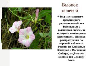 Вьюнок полевой Вид многолетнего травянистого растения семейства Вьюнковые с в