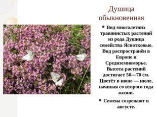 Душица обыкновенная Вид многолетних травянистых растений из рода Душица семей