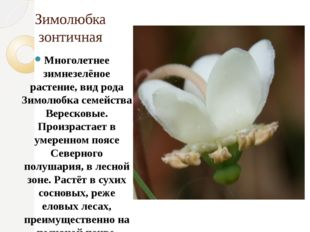 Зимолюбка зонтичная Многолетнее зимнезелёное растение, вид рода Зимолюбка сем