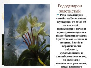 Рододендрон золотистый Рода Рододендрон семейства Вересковые. Кустарник от 30