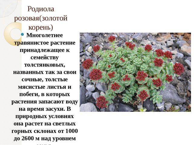 Родиола розовая(золотой корень) Многолетнее травянистое растение принадлежаще...