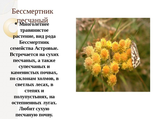 Бессмертник песчаный Многолетнее травянистое растение, вид рода Бессмертник с...