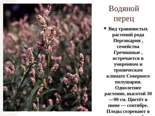 Водяной перец Вид травянистых растений рода Персикария , семейства Гречишные...