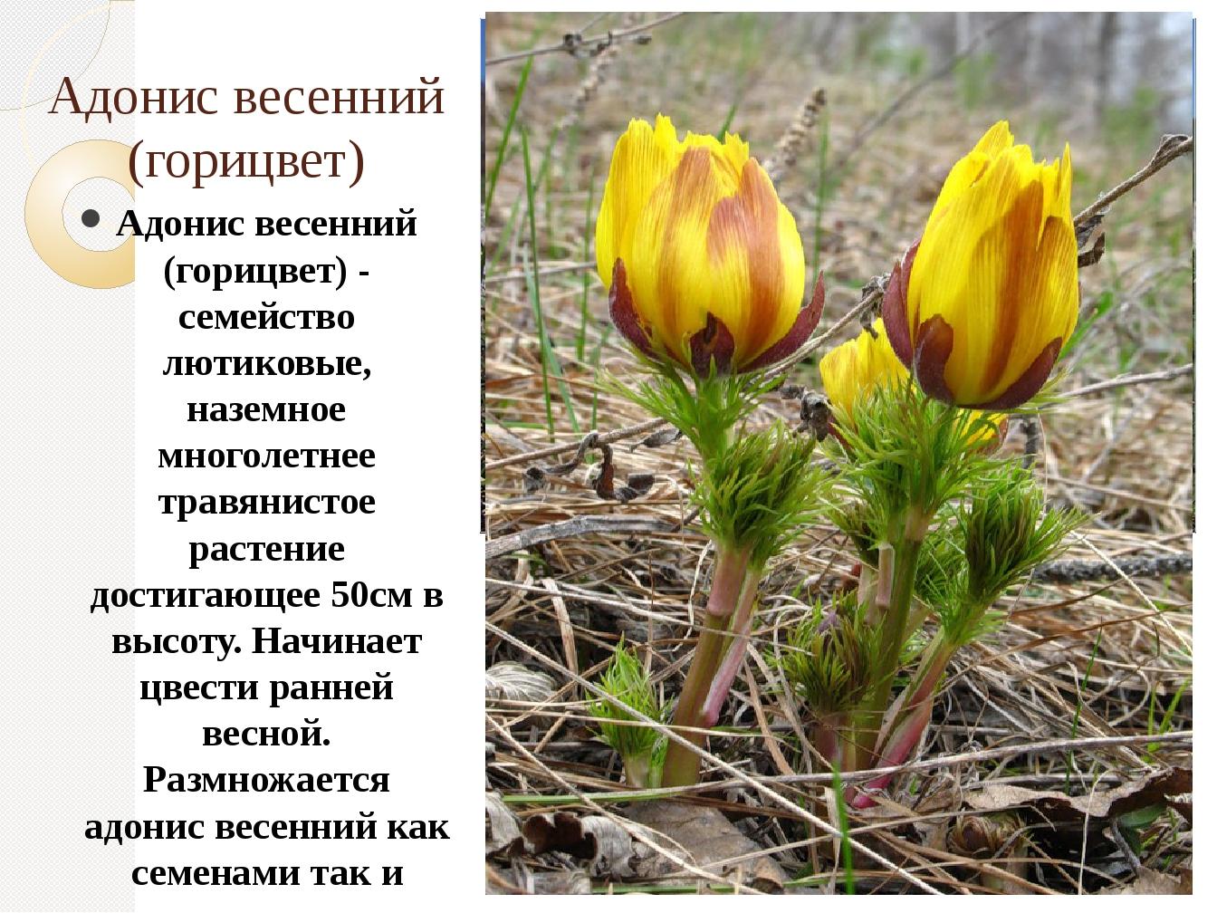 Адонис весенний (горицвет) Адонис весенний (горицвет) - семейство лютиковые,...