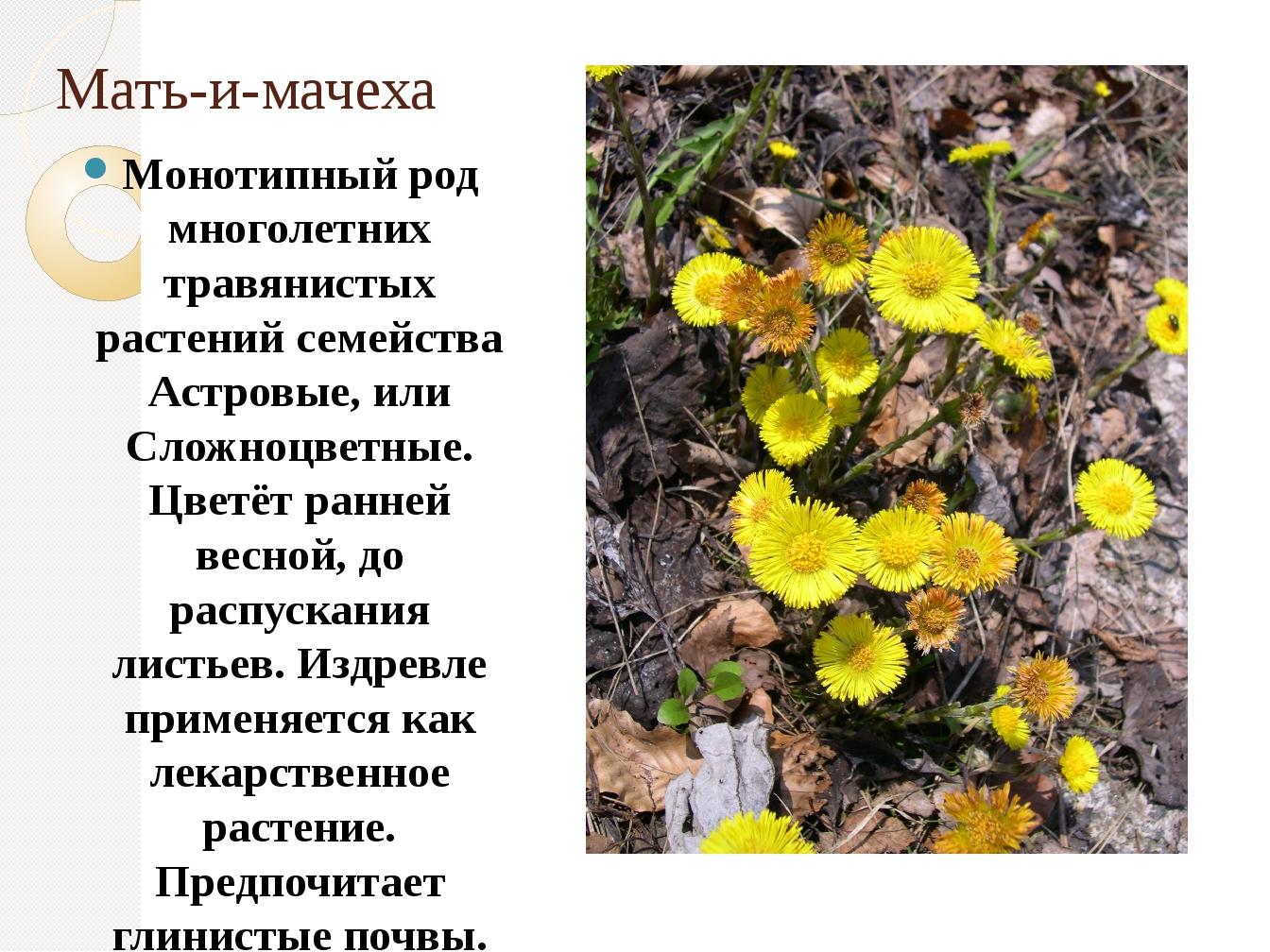 Мать-и-мачеха Монотипный род многолетних травянистых растений семейства Астро...