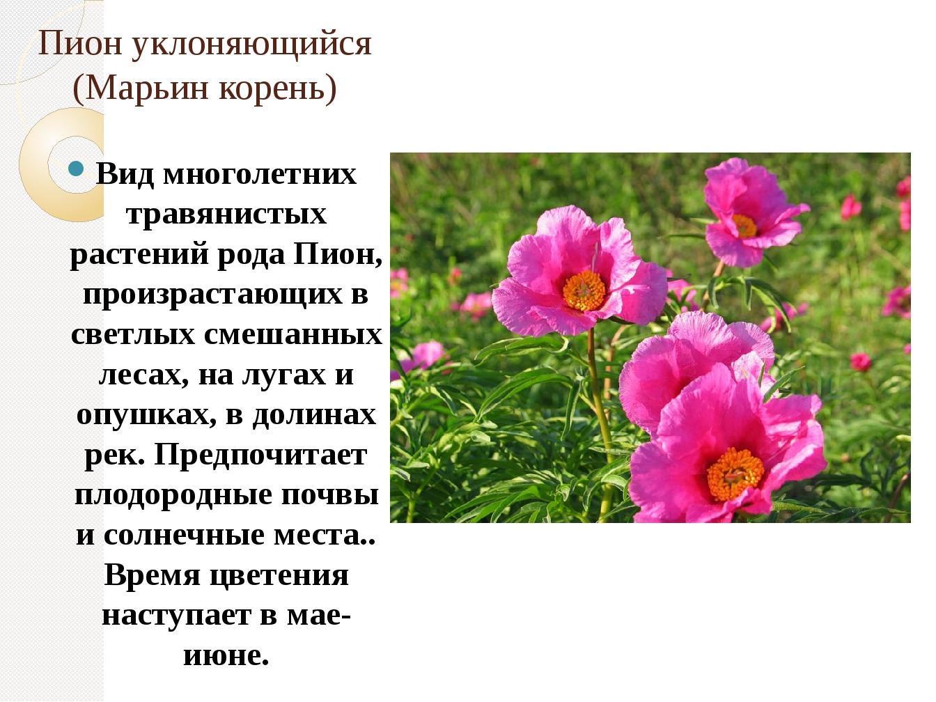 Пион уклоняющийся (Марьин корень) Вид многолетних травянистых растений рода П...