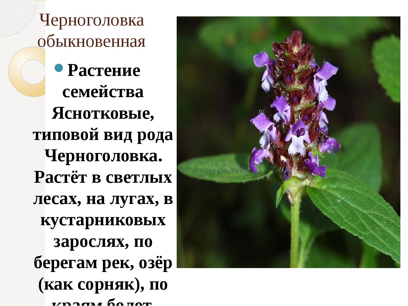 Черноголовка обыкновенная Растение семейства Яснотковые, типовой вид рода Чер...