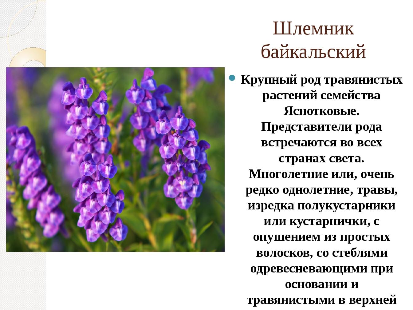 Шлемник байкальский Крупный род травянистых растений семейства Яснотковые. Пр...