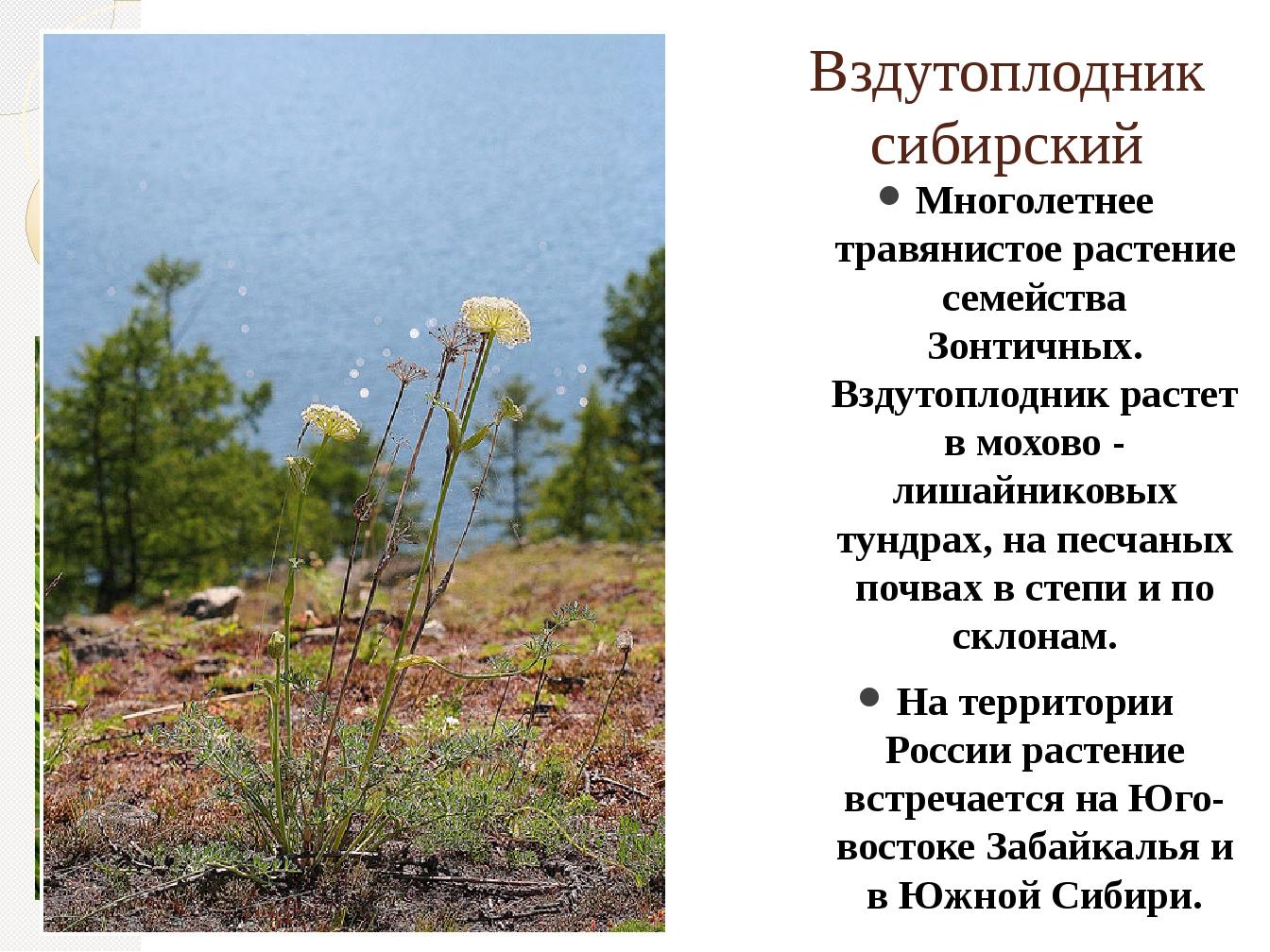 Вздутоплодник сибирский Многолетнее травянистое растение семейства Зонтичных....