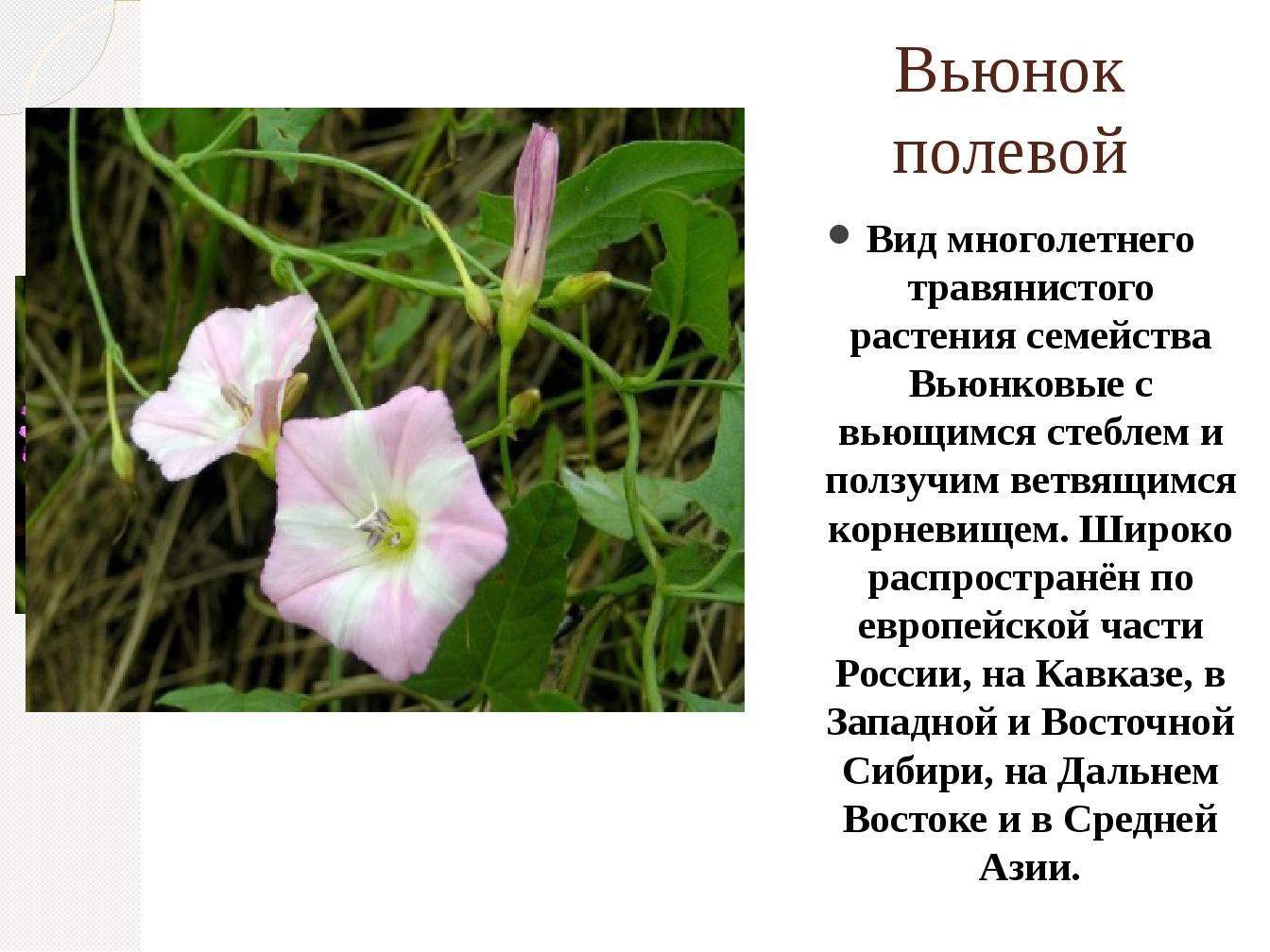 Вьюнок полевой Вид многолетнего травянистого растения семейства Вьюнковые с в...