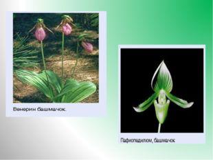 3.Какое растение встречается в лесу, цветки его по форме напоминают башмачки,