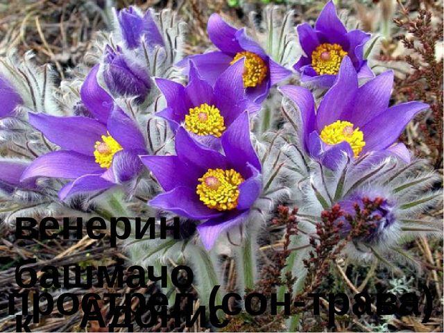 венерин башмачок Адонис весенний прострел (сон-трава)
