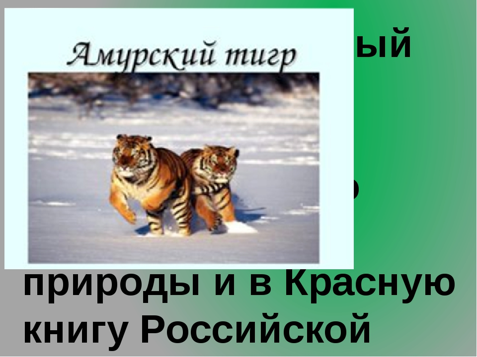 9.Самый северный тигр. Занесён в Красную книгу Международного союза охраны п...