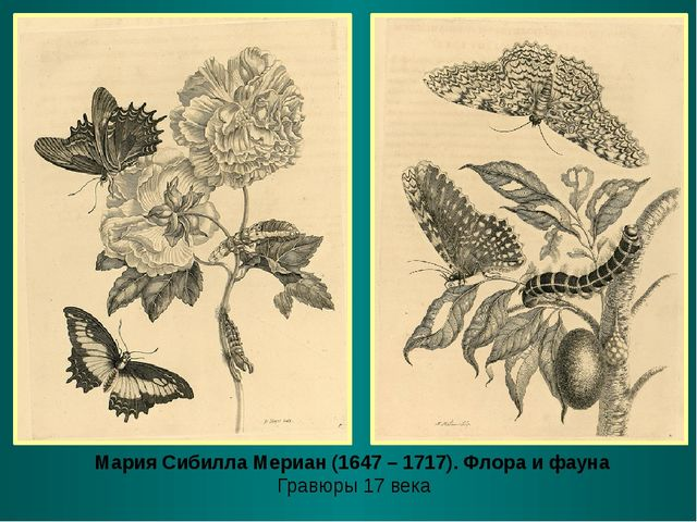 Мария Сибилла Мериан (1647 – 1717). Флора и фауна Гравюры 17 века