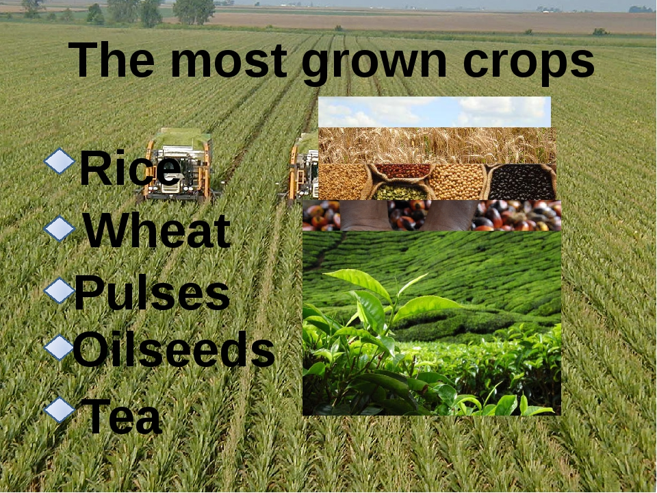 The most grown crops Rice Wheat Pulses Oilseeds Tea